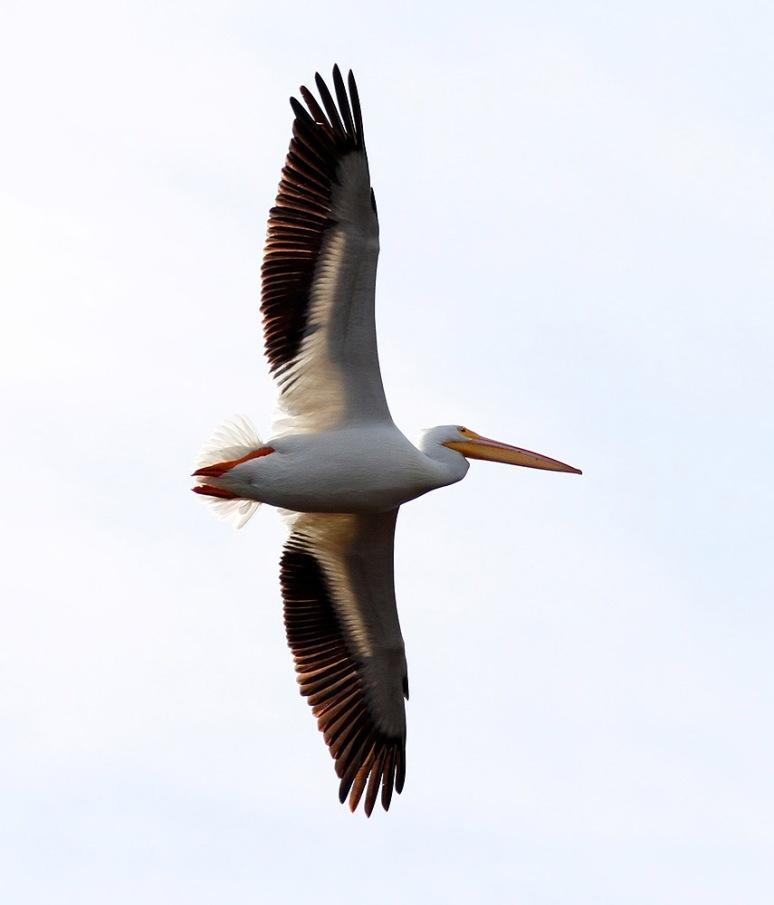 White Pelican Visits Marsh Pond