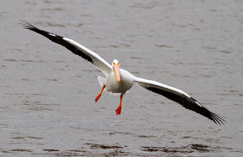 American White Pelican Flying in Marsh Pond