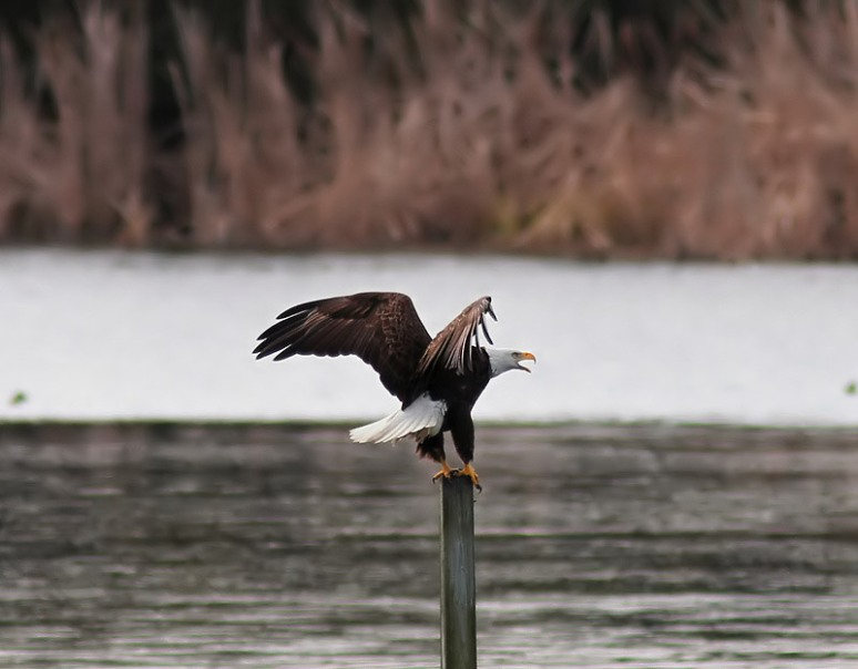 Bald Eagle Chases Ducks From Pond