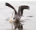 Brown Pelican Fishing in MarshPond