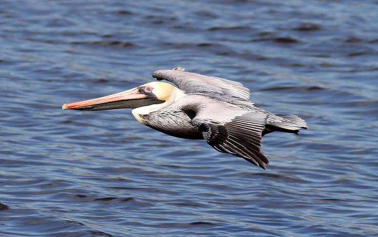 Brown Pelicans Fly In