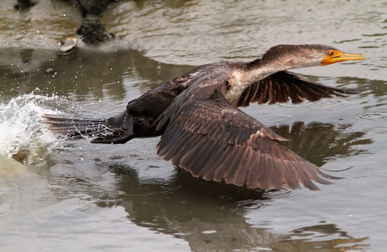 Cormorant In A Hurry