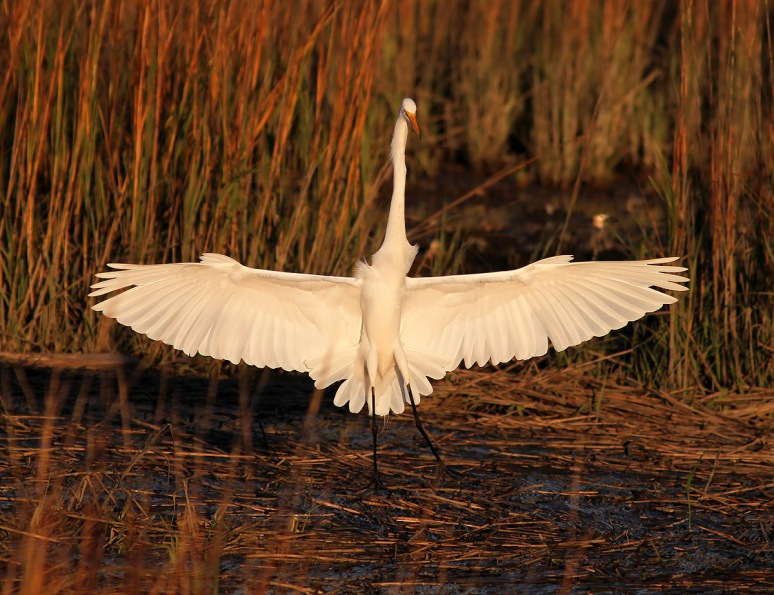 Egret Flying Into Salt Marsh