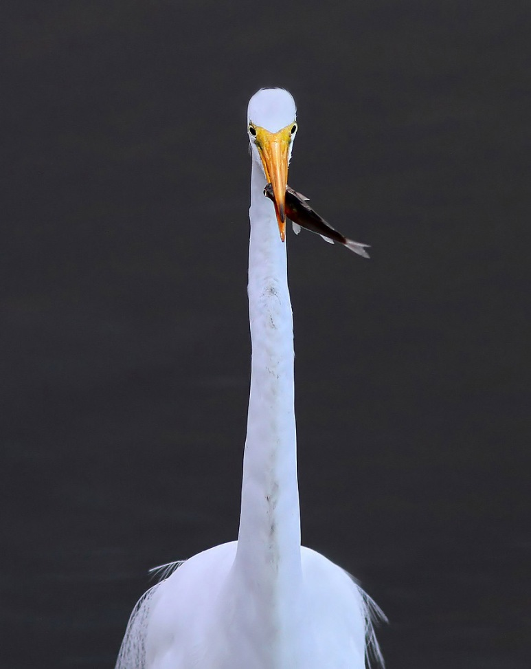 Egret Shows Off Fish