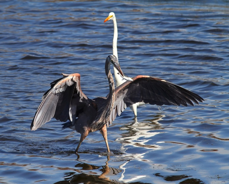 GBH with Fish and Egret