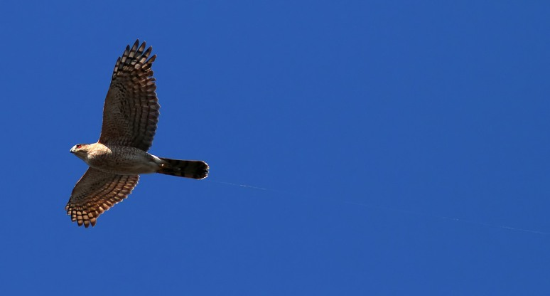 Hawk with Fishing Line