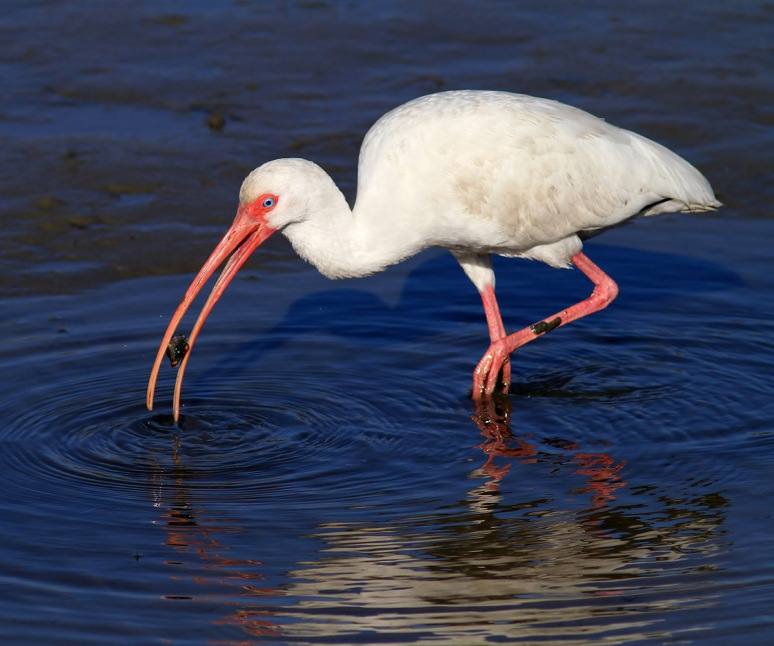 Ibis With Snail in Salt Marsh