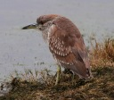 Night Heron on the Edge of the Marsh Pond