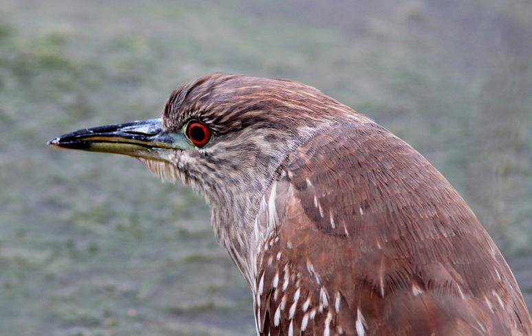 Night Heron on the Edge of the Marsh Pond