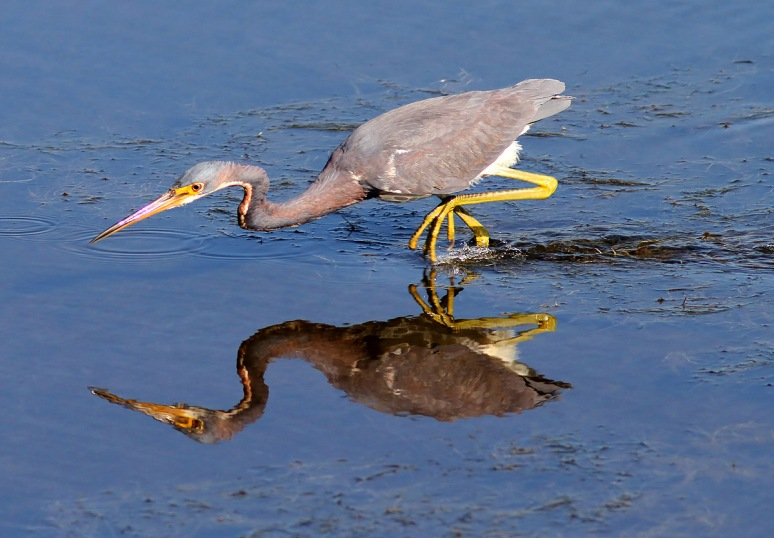 Tricolored Heron Fishing in Marsh Pond