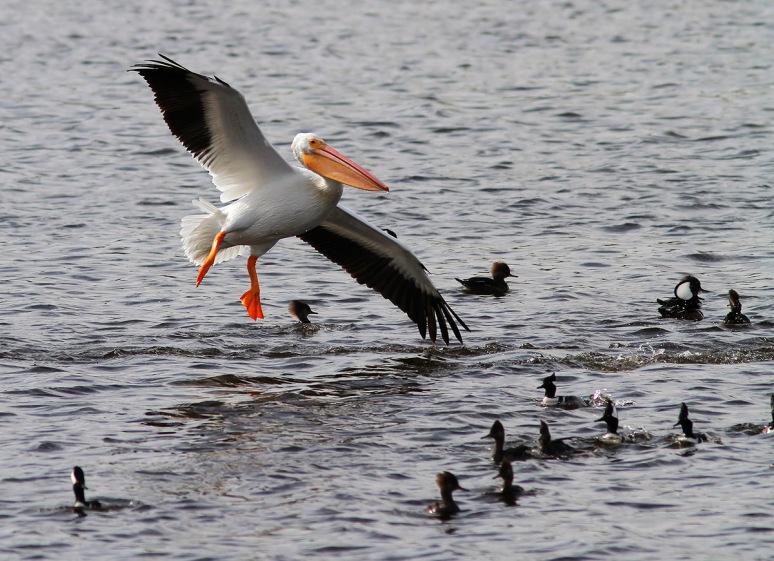 White Pelican Flies Into Hoodies