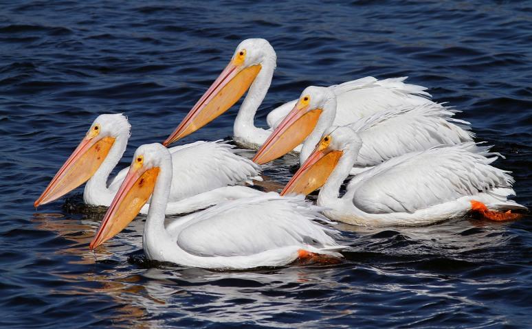 White Pelican Quintet