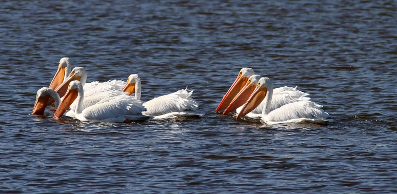 White Pelican Small Group in Pond
