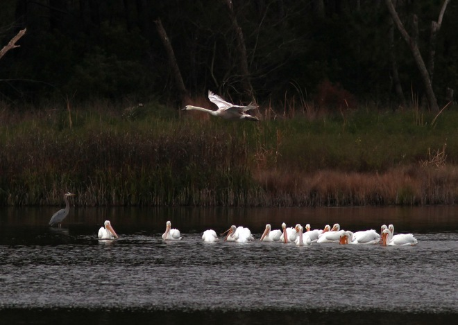 White Pelicans and Swan