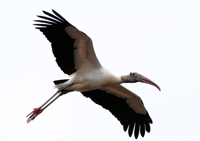 Wood Stork Leaves The Marsh Pond
