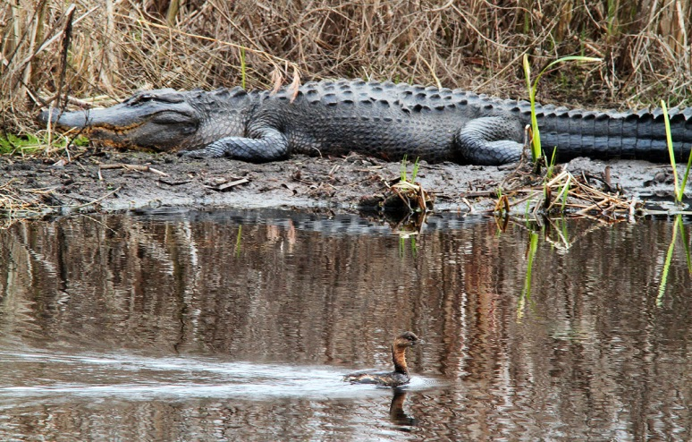 Alligator and PB Grebe in Swamp
