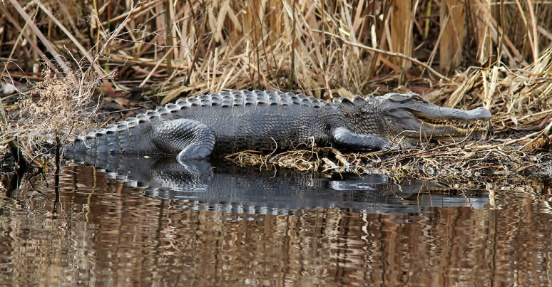 Alligator Smiling in the Swamp