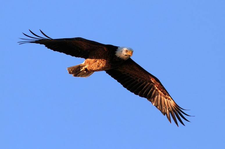 Bald Eagle Blue Sky Flight