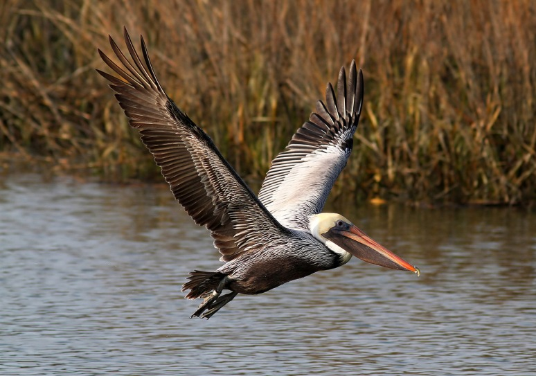 Brown Pelican Flight Out Of Salt Marsh
