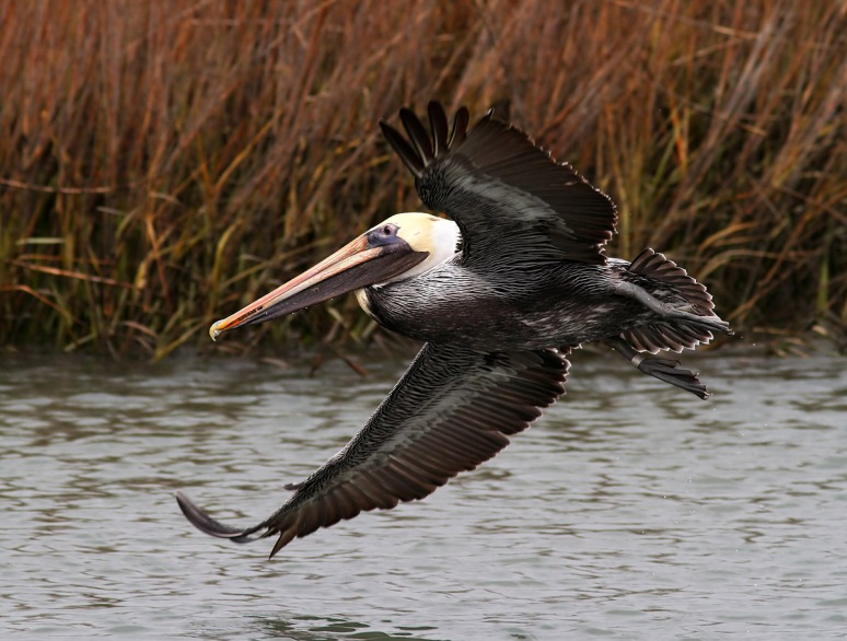 Brown Pelicans Fishing in the Salt Marsh