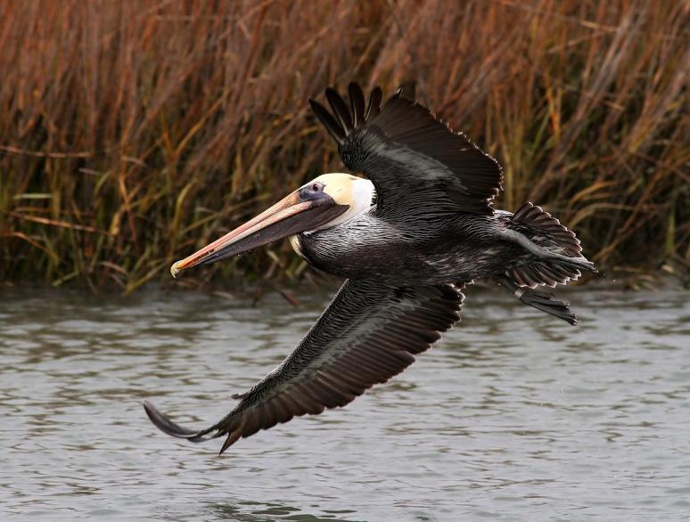 Brown Pelicans Fishing in the Salt Marsh