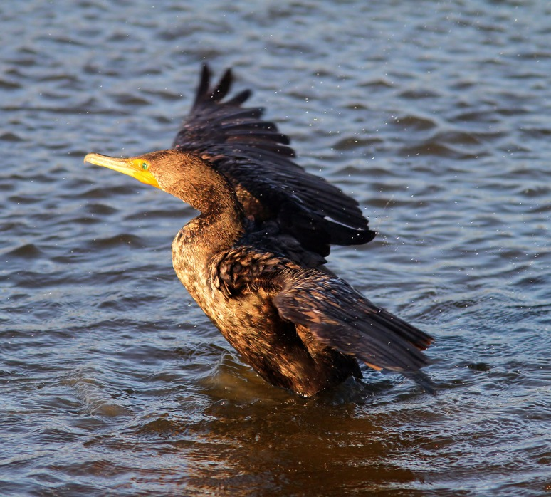 Cormorant Portrait Ruined