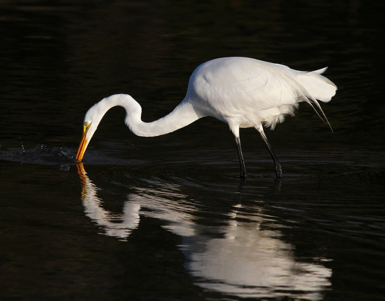 Egret Embarrassed at Fishing Results
