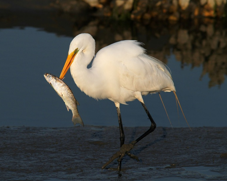 Egret With Big Fish in Salt Marsh