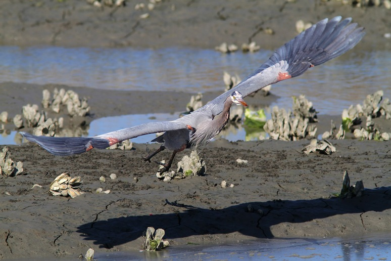 GBH Arrives In Salt Marsh
