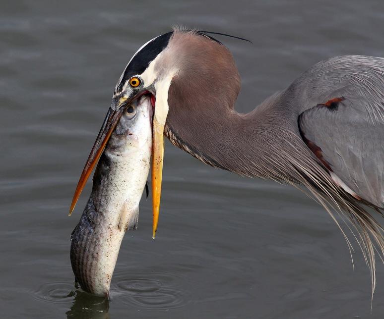 GBH Spots Big Fish