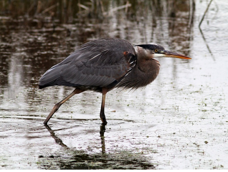 Great Blue Heron Feeding in the Winter Marsh