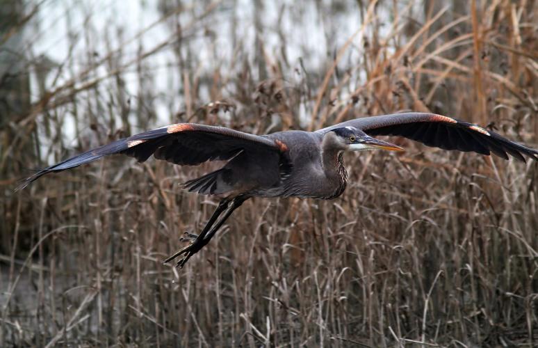 Great Blue Heron Feeding in the Winter Marsh