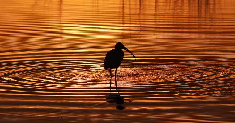 Ibis Sunset Silhouette