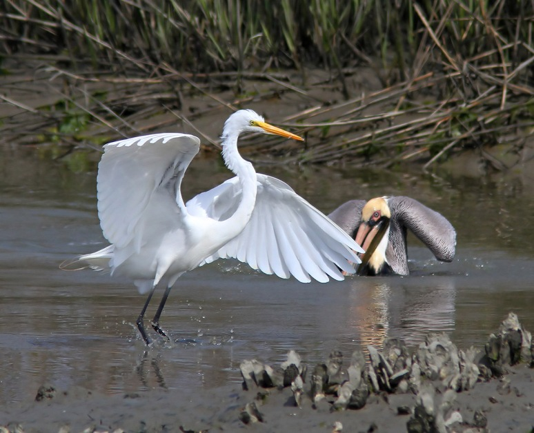 Pelican Drops in on Egret