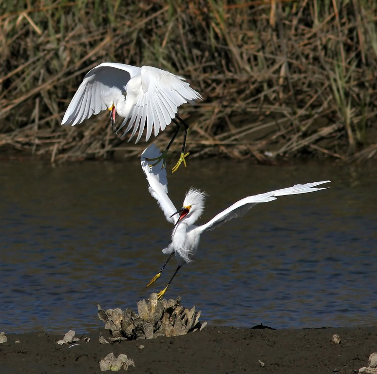 Snowys Battle in the Salt Marsh