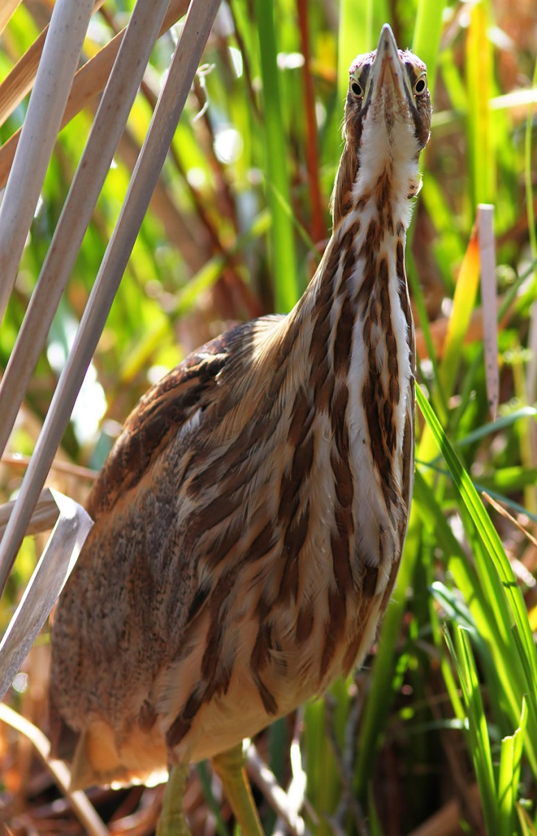 American Bittern in the Swamp
