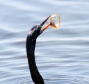 Anhinga Afternoon Fishing