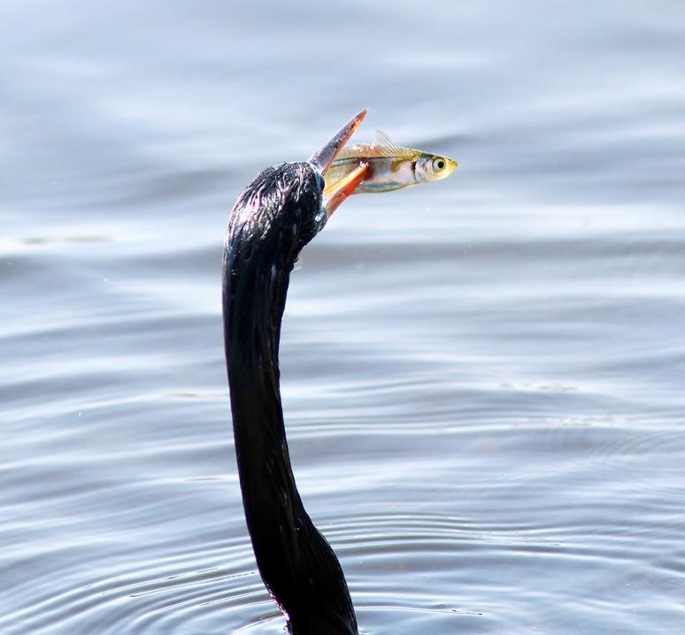 Anhinga Afternoon Fishing