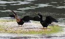 Anhingas in the Marsh Pond