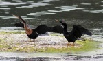 Anhingas in the MarshPond