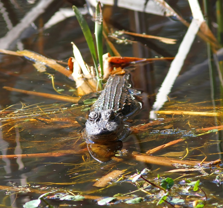 Baby Alligator Pops Up In Swamp