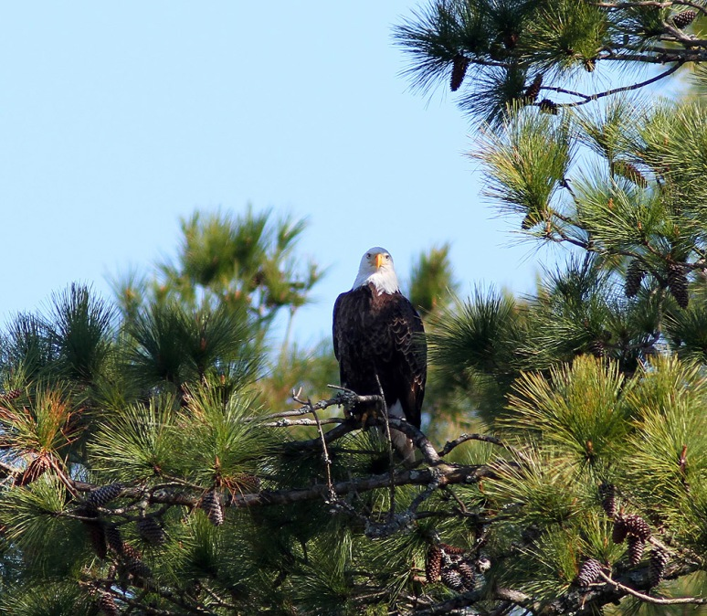 Bald EagleJumps Off From Pine Tree