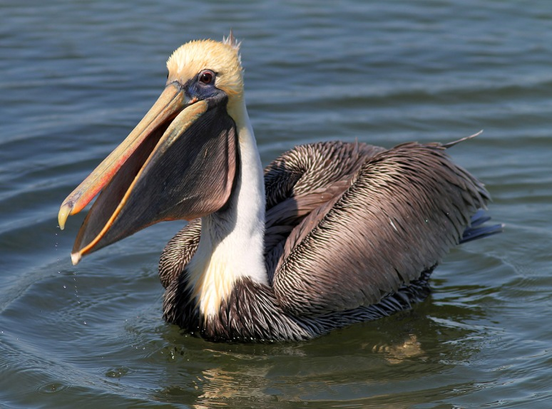 Brown Pelican Afternoon Fishing in the Salt Marsh
