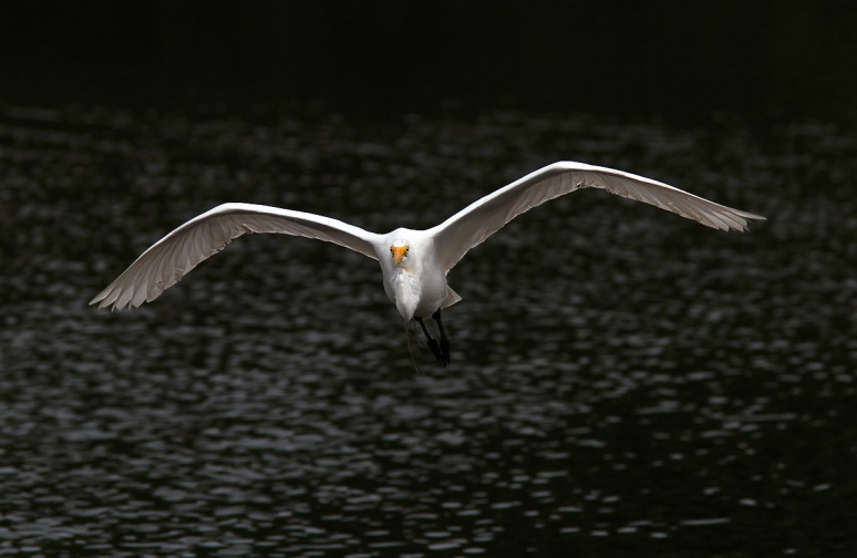 Egret Flight From Dark Water