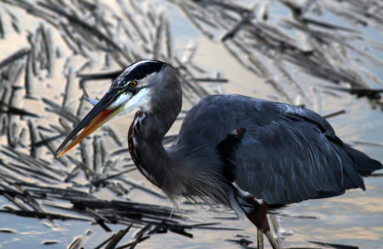 GBH Fishing Among Dry Floating Reeds