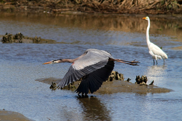 GBH Flies By Egret