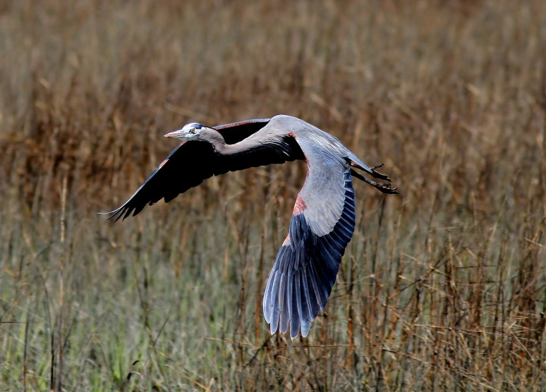 GBH Flight In From The Marsh