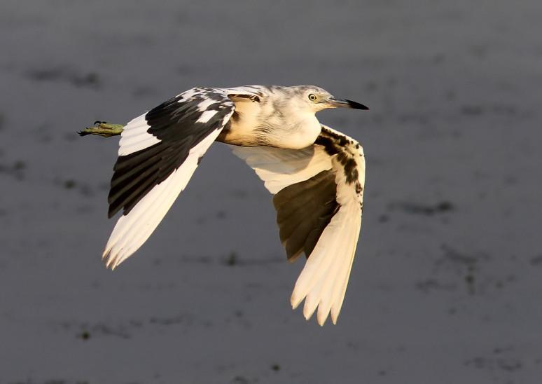 LBH Tweener Flight Across the Marsh