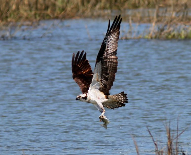Osprey Plucks Fish Out Of Salt Marsh