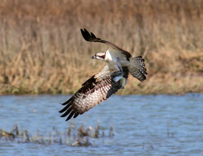 Osprey Plucks Fish Out Of Salt Marsh
